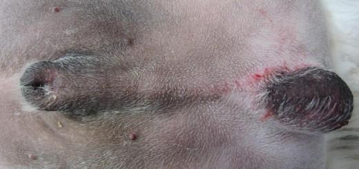 Anorchidie chez le chien