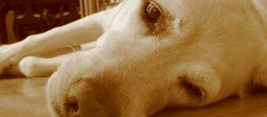 Parvovirose maladie du chien