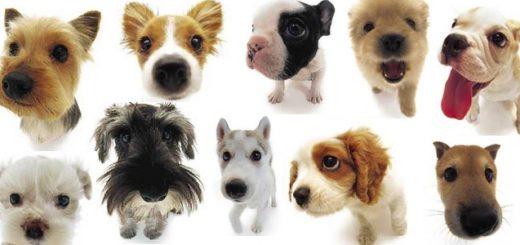 races-chiens