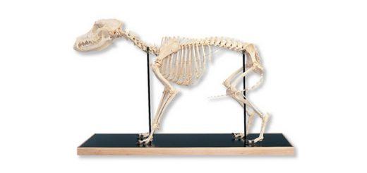 Squelette des chiens