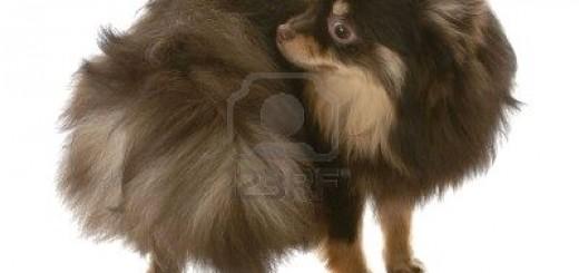 chien ou chiot qui mord sa queue