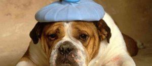 Fièvre du chien