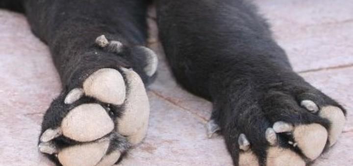 Pattes des chiens