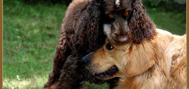 pellicules chien