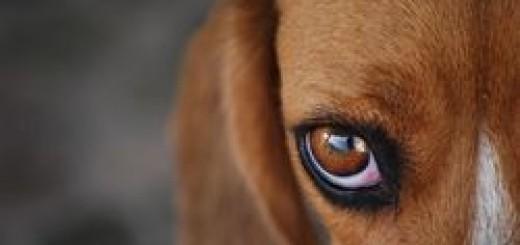 Yeux chien : conseil santé