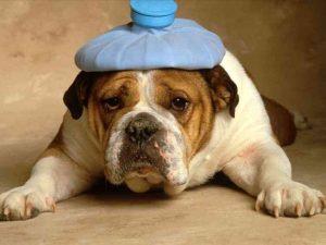 Les vomissements du chien