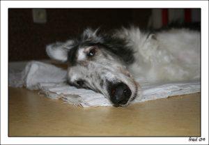 leptospirose-chien