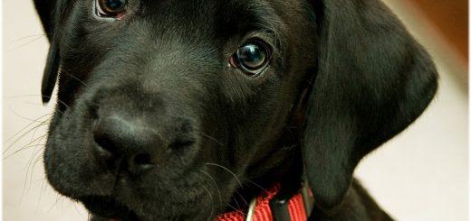 Labrador noir