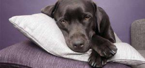 maladie carre chien